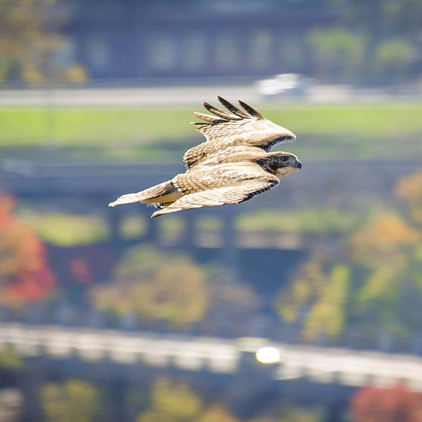 Hawk over East Rock.