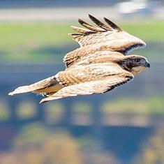 Hawk over East Rock.